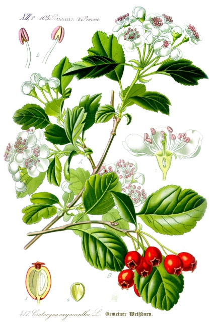 illustration_crataegus_laevigata1-1
