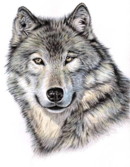 Wilk Wolf