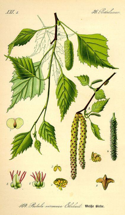 Brzoza drzewo
