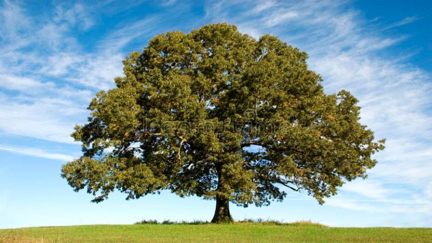Dąb-drzewa-słowian
